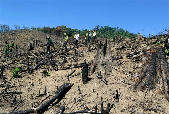 About 43 hectares of natural forest have been destroyed in An Lao District in the central province of Binh Dinh in the past few months. (Photo: VNA/VNS)