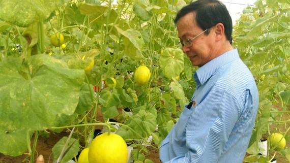 Dưa lưới được trồng theo mô hình ứng dụng CNTT tại Khu Nông Nghiệp công nghệ cao. Ảnh: BÁ TÂN