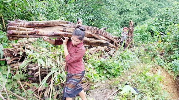 Phụ nữ Vân Kiều đi lấy A Loang (cỏ máu) ở Trường Sơn