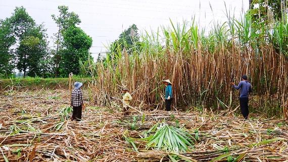 Tiến độ thu hoạch mía ở Trà Vinh chậm khiến nông dân bị thiệt