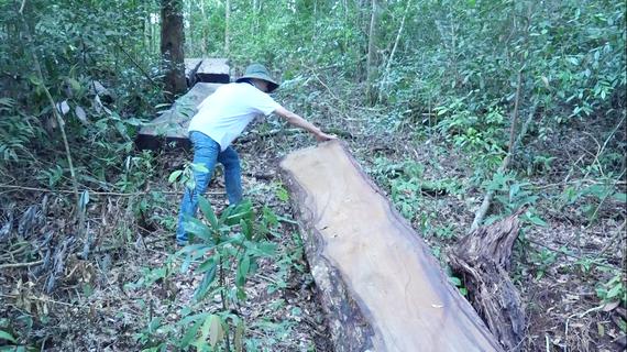 Gỗ du sam bị chặt hạ tại Khu bảo tồn thiên nhiên Nam Nung. Ảnh CÔNG HOAN