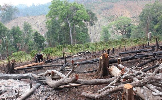 Rừng tự nhiên bị chặt hạ tại lâm phần Công ty Gia Nghĩa. Ảnh: CÔNG HOAN.