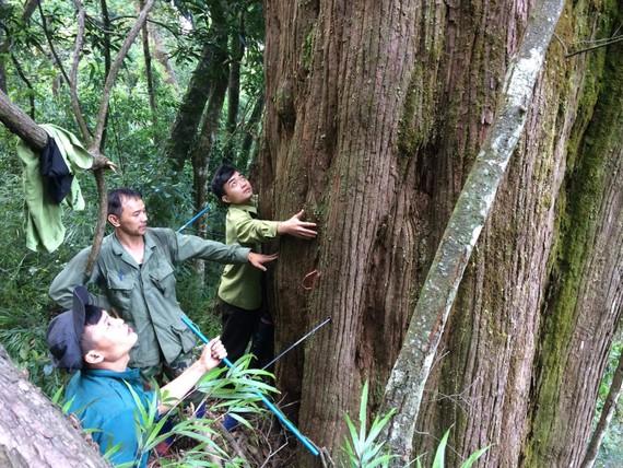 """Hà Tĩnh: Phát hiện cây pơ mu """"khủng"""" tại Vườn Quốc gia Vũ Quang"""