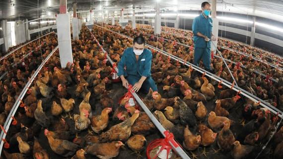 Nuôi gà cung ứng thịt, con giống cho TPHCM và các tỉnh tại Xí nghiệp gà Củ Chi. Ảnh: CAO THĂNG
