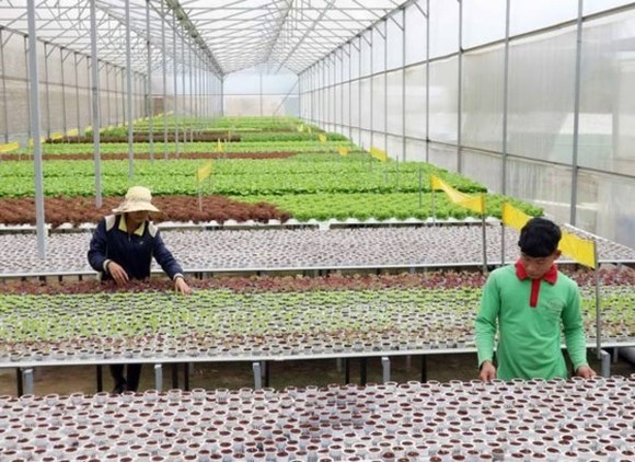 Farmers are working in a cooperative in Lam Dong Province (PHoto: SGGP)