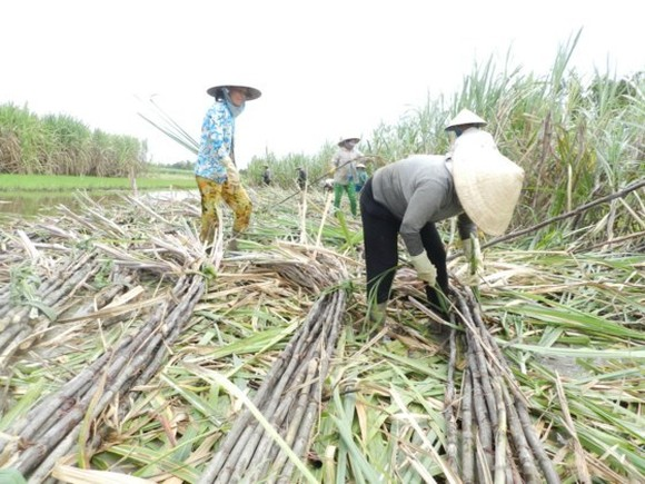 Farmers in Hau Giang Mekong delta province harvest Sugarcane (Photo: SGGP)