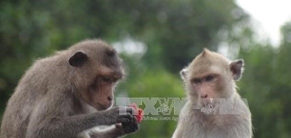The long-tailed macaques, a rare animal, is listed in the IUCN's Red List (Photo VNA)