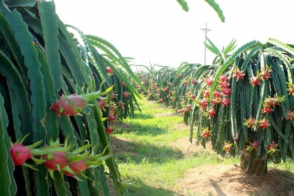 Farmers withdraw from growing safe dragon fruit because of low price