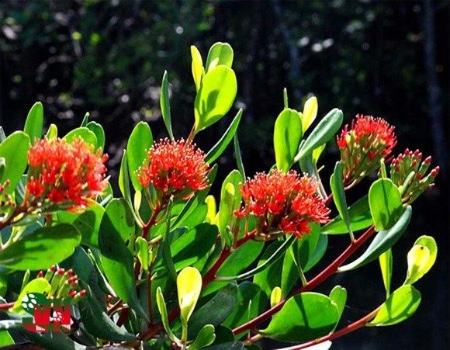 "Coc do"" (Lumnitzra littorea) tree. (Photo: vncreatures.net)"
