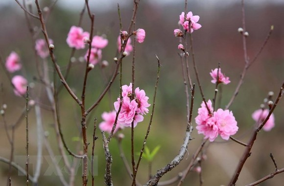 Cold spell means peach blossoms cost more