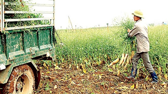 Turnip farmers are despair because their produce is sold cheap (Photo: SGGP)