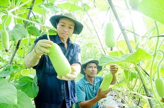Farmers in Hoc Mon grown vegetable as per VietGap (Photo: SGGP)