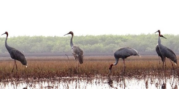 Over 40 red-crowned cranes return Kien Giang province