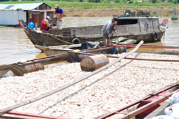 Gov't to support fish breeders in La Nga river