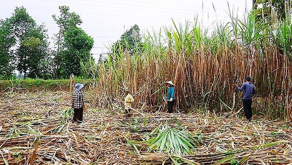 Sugar prices rise globally, local sugar expected to surge