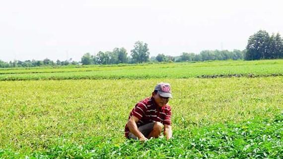 A farmer harvest vegetable (Photo: SGGP)