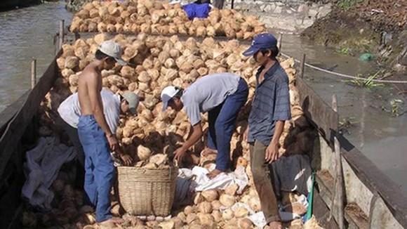 The low price of coconuts makes many farmers desperate