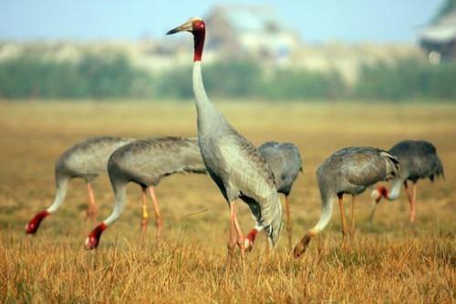 Sarus crane - Illustrative image (Source: Internet)