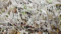 Damaging cold in teh  northern mountainous region of Vietnam