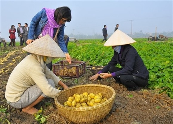 In Vietnam, greenhouse gas (GHG) emissions from rice cultivation are estimated to account for more than half of emissions by agriculture production as a whole.— Photo nongnghiep.vn