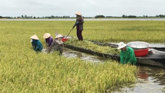 Sản xuất 130.000ha lúa thu đông ở những nơi chống lũ triệt để ảnh 1