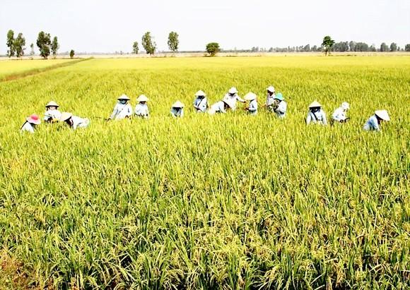 """Xây dựng 30.000ha """"cánh đồng lớn"""" gắn với nông dân ảnh 1"""