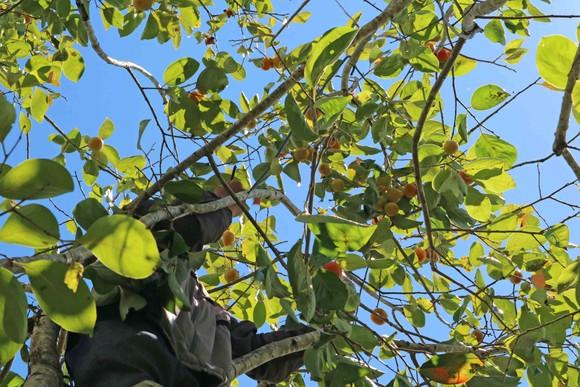 Rộn ràng mùa trái hồng ở Đà Lạt ảnh 5