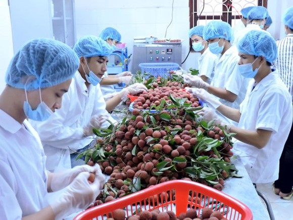 Litchi fruit, a specialty of the northern province of Bac Giang, is being irradiated in Hanoi to export to Australia (Photo: SGGP)