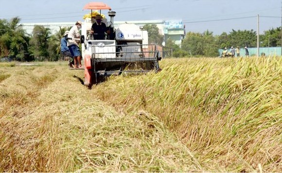 Rice harvest in the Mekong Delta (Photo: SGGP)