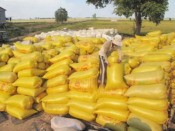 Rice bags after harvest in the Mekong Delta (Photo: SGGP)