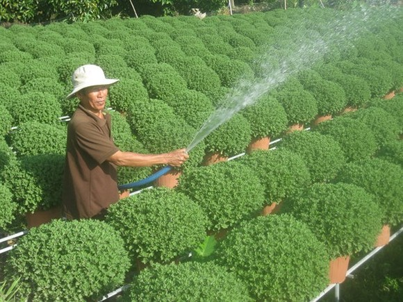 Farmers take care of flowers for Tet holidays in the Mekong Delta (Photo: SGGP)