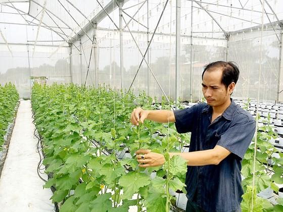 Muskmelon production in HCMC (Photo: SGGP)