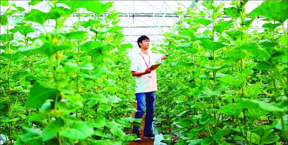 Hi-tech musk melon farming in HCMC (Photo: SGGP)