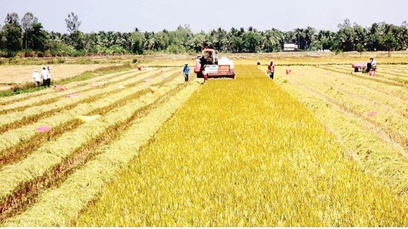 Farmers harvest winter spring rice in Dong Thap province (Photo: SGGP)