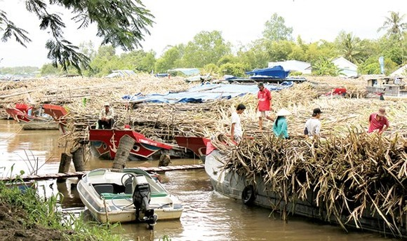 Sugar growers have been hit by inventory in the Mekong Delta (Photo: SGGP)