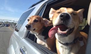 Taxi thú cưng chở chó đi dạo