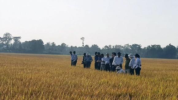 Cánh đồng sản xuất lúa sạch ở xã Mỹ Lộc, huyện Tam Bình, tỉnh Vĩnh Long