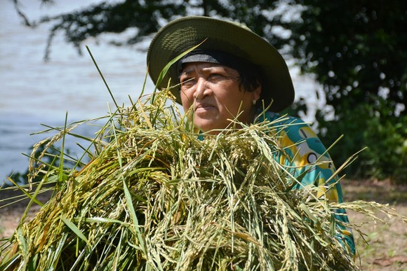 ĐBSCL khẩn cấp gặt lúa chạy lũ ở vùng biên giới  ảnh 6