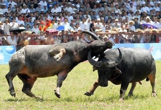 Do Son Buffalo Fighting Festival