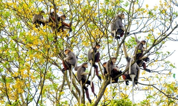 Red-shanked douc langur on Son Tra Peninsula