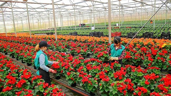 Farmers in Da Lat busy preparing for Tet holiday