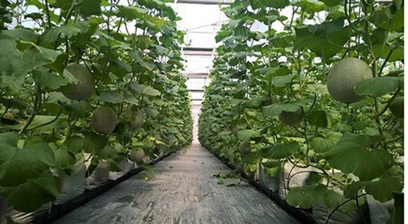 Using smart technologies to grow cantaloupe at the Hi-Tech Agriculture Park in HCM City (Photo: VNA)