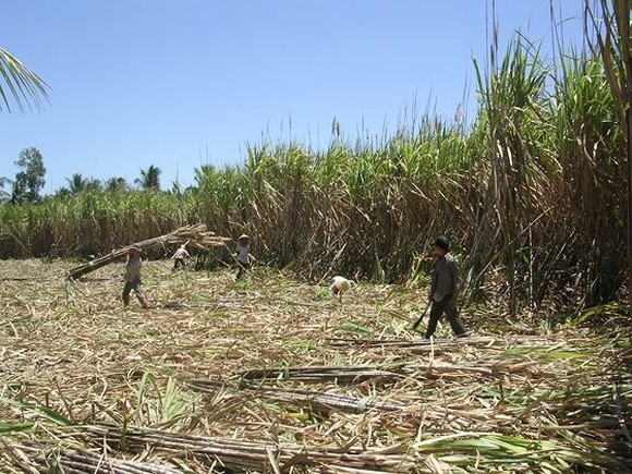 Farmers in Mekong delta chop down sugar-cane because of low price