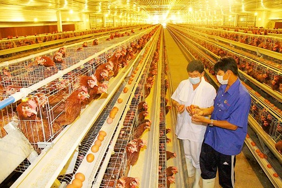 A farm to breed chicken of Ba Huan Company in the southern province of Binh Duong (Photo: SGGP)