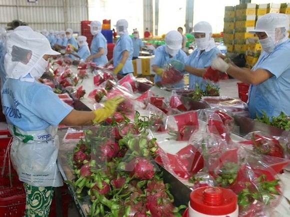 Dragon fruits for exports (Photo: VNA)