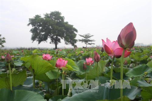 Lotus in Thua Thien-Hue (Source: VNA)