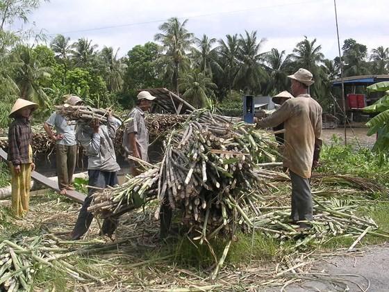 Sugarcane farmers suffer loss of $643 per hectare