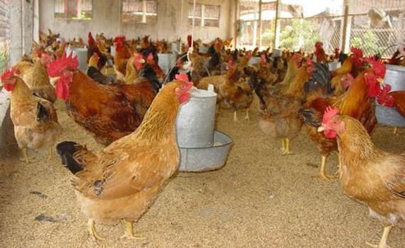 Outbreaks of cattle, poultry diseases in localities in Vietnam