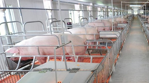 Mekong delta shifts to swine breeding in value chains