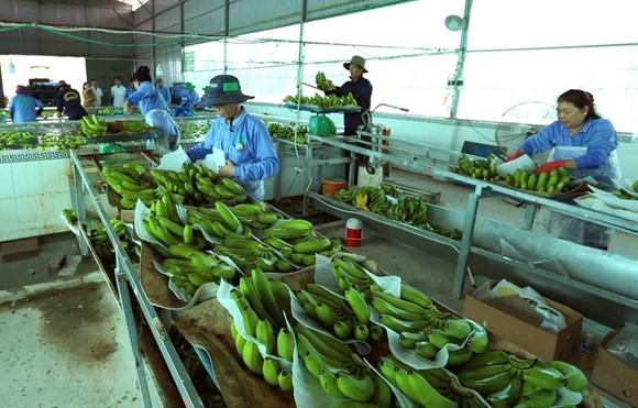 Processing banana for export (Photo: VNA)